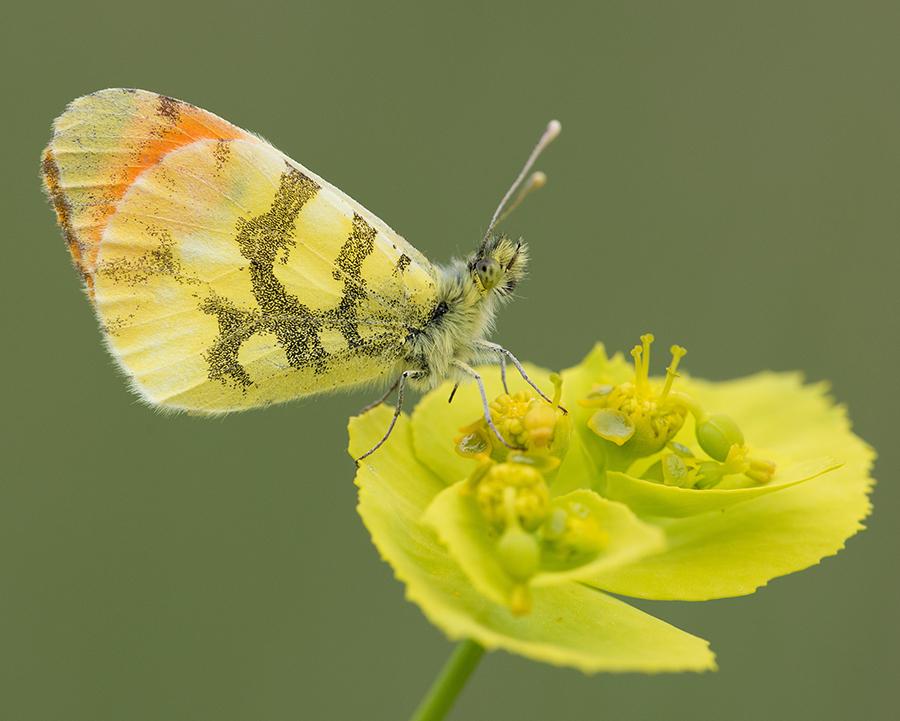 Anthocharis Euphenoides. Foto: Vlad Dinca
