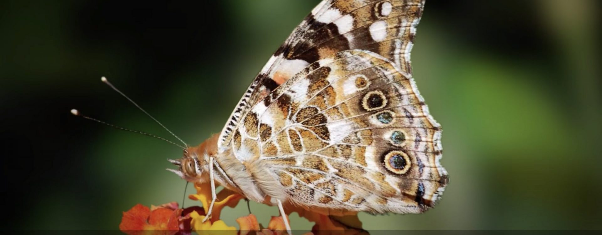 Vanessa's Odyssey, Tribute to the butterfly Vanessa Cardui and her incredible journey (Outreach video)